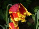 Tapeta červený tulipán po dešti