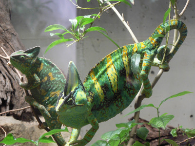 Tapeta: Chameleoni