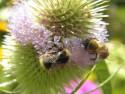 Tapeta Čmeláčci na květu