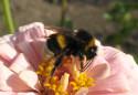 Tapeta Čmelák na květu