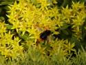 Tapeta Čmelák na květinách