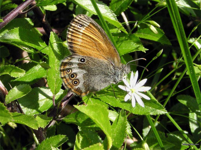 Tapeta: Coenonympha arcania