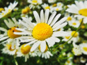 Tapeta daisy
