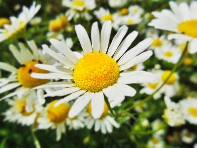 Tapeta: daisy