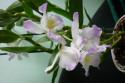 Tapeta Dendrobium