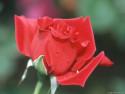 Tapeta Detail Růže