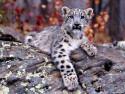 Tapeta Divoké kočky 10