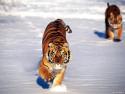 Tapeta Divoké kočky 11