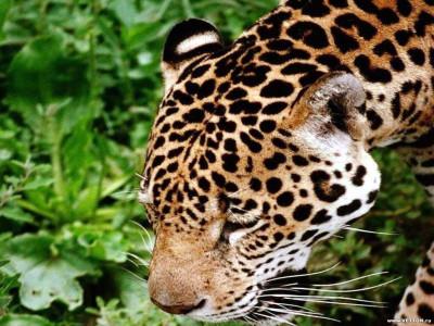 Tapeta: Divoké kočky 12