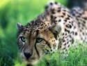 Tapeta Divoké kočky 15