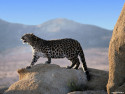 Tapeta Divoké kočky 16