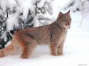 Tapeta Divoké kočky 18