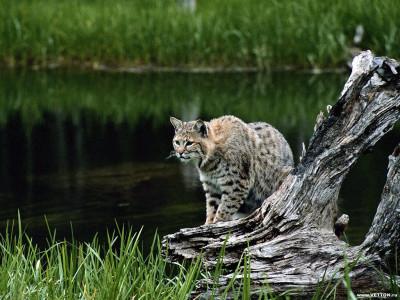 Tapeta: Divoké kočky 19