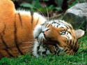 Tapeta Divoké kočky 20