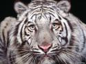 Tapeta Divoké kočky 24