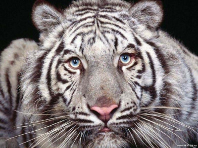 Tapeta: Divoké kočky 24