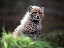 Tapeta Divoké kočky 3