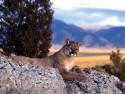Tapeta Divoké kočky 4
