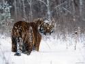 Tapeta Divoké kočky 8
