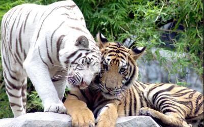 Tapeta: Dva tygři