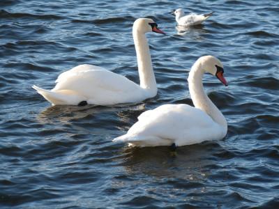 Tapeta: Dvě labutě