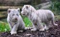 Tapeta Dvě mláďata bílého tygra