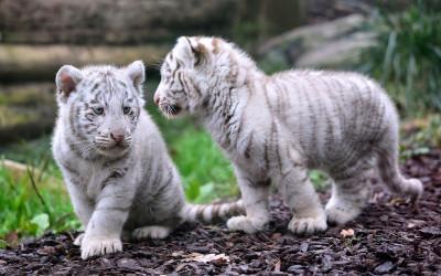 Tapeta: Dvě mláďata bílého tygra