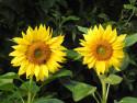 Tapeta Dvě slunečnice