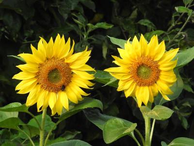 Tapeta: Dvě slunečnice
