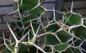 Tapeta Euphorbia
