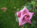 Tapeta Fialová růže