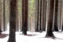 Tapeta fialová v lese
