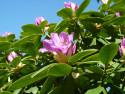Tapeta Fialový rododendron