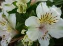 Tapeta Flowers 006
