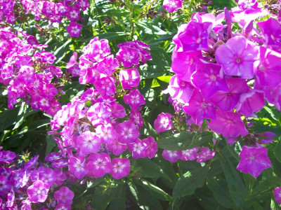 Tapeta: Floxy fialové