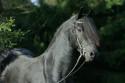 Tapeta Fríský kůň 2