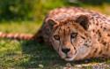 Tapeta Gepard 1