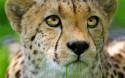 Tapeta Gepard 2