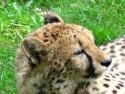Tapeta Gepard 2 - Zoo Olomouc