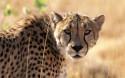 Tapeta Gepard 3