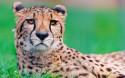 Tapeta Gepard 4