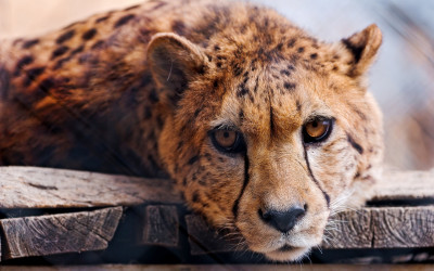 Tapeta: Gepard 5