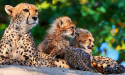 Tapeta Gepard 6