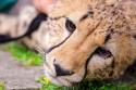 Tapeta Gepard 7