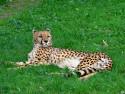 Tapeta Gepard - Zoo Olomouc