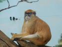 Tapeta Gibon sedící