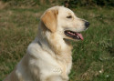 Tapeta Golden Retriever - profil