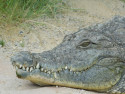 Tapeta Hlava krokodýla