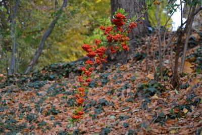 Tapeta: Hlohyně červená