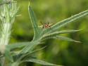 Tapeta Hmyz na bodláku